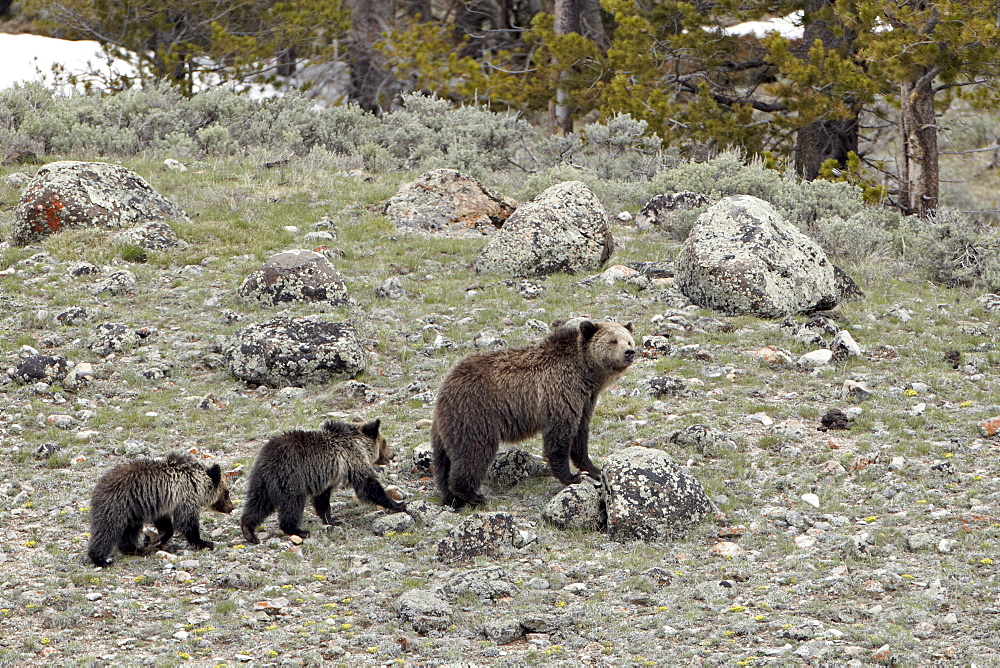 Grizzly bear (Ursus arctos horribilis) sow with two yearling cubs, Yellowstone National Park, UNESCO World Heritage Site, Wyoming, United States of America, North America