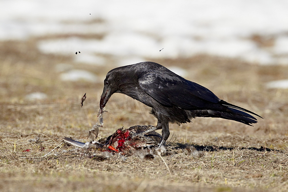 Common raven (Corvus corax) feeding on a duck, Yellowstone National Park, Wyoming, United States of America, North America