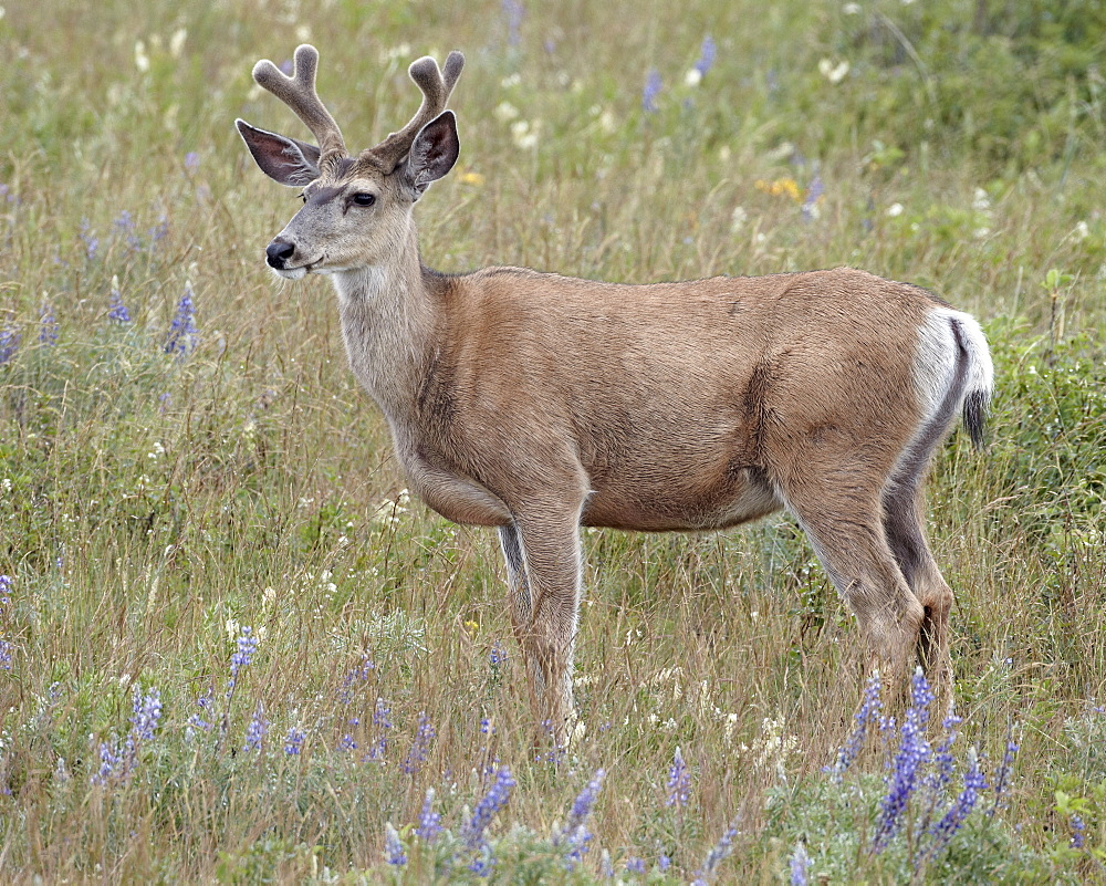 Mule deer (Odocoileus hemionus) buck in the summer, Waterton Lakes National Park, Alberta, Canada, North America