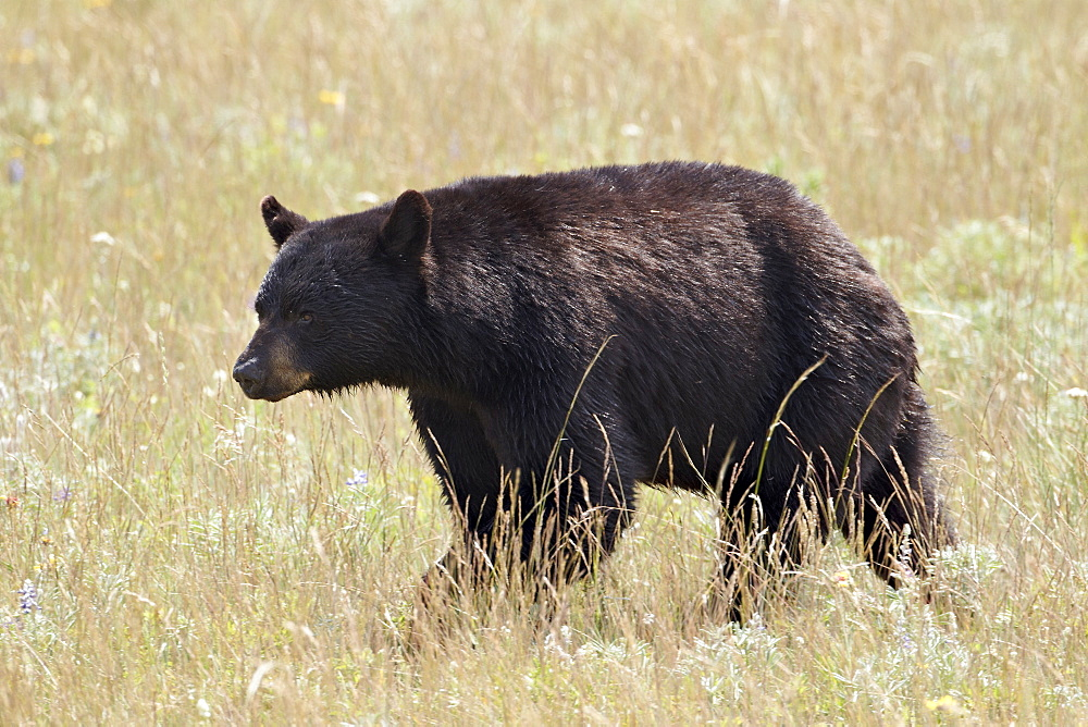 Black bear (Ursus americanus), Waterton Lakes National Park, Alberta, Canada, North America