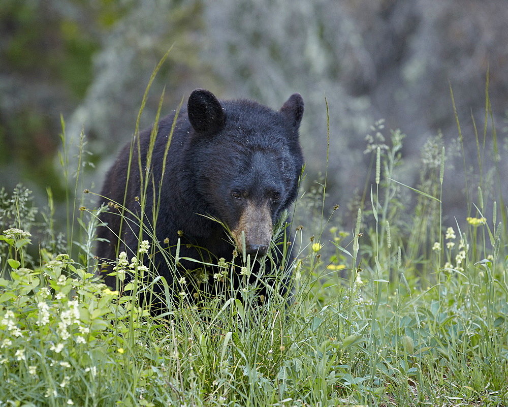 Black bear (Ursus americanus) eating, Glacier National Park, Montana, United States of America, North America