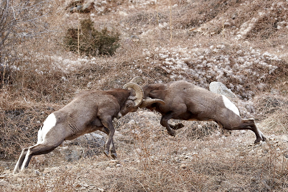 Two bighorn sheep (Ovis canadensis) rams head butting, Clear Creek County, Colorado, United States of America, North America