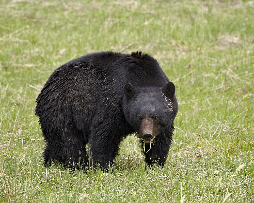 Black bear (Ursus americanus) eating, Yellowstone National Park, Wyoming, United States of America, North America