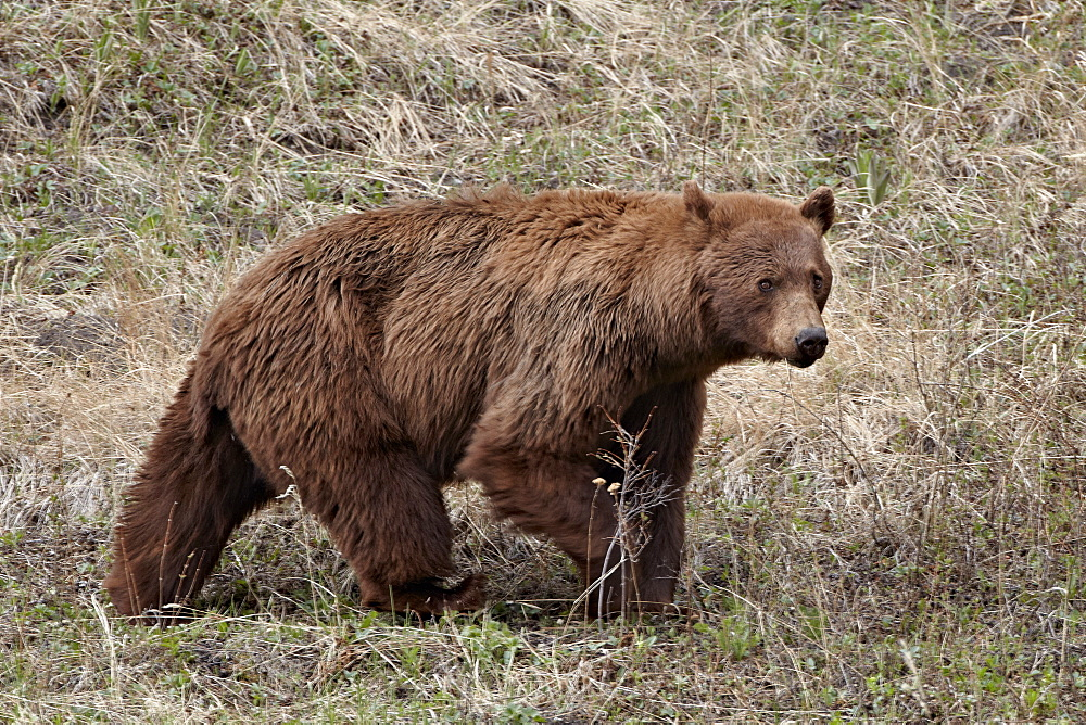 Cinnamon-colored black bear (Ursus americanus) walking, Yellowstone National Park, Wyoming, United States of America, North America