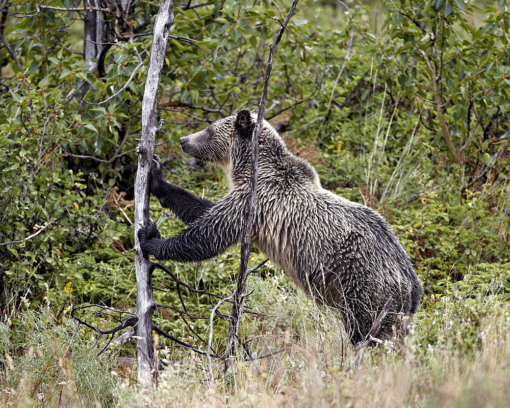 Grizzly bear (Ursus arctos horribilis) pushing over a dead tree, Glacier National Park, Montana, United States of America, North America