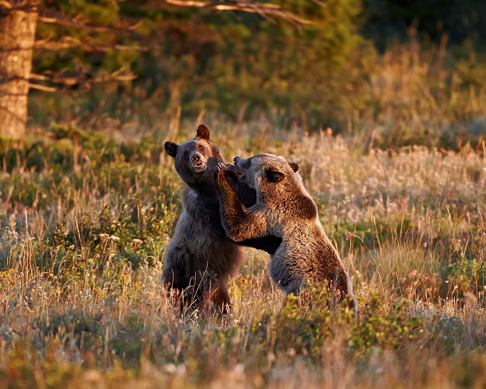 Two sub-adult grizzly bears (Ursus arctos horribilis), Glacier National Park, Montana, United States of America, North America