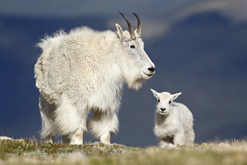 Mountain goat (Oreamnos americanus) nanny and kid, Mount Evans, Arapaho-Roosevelt National Forest, Colorado, United States of America, North America