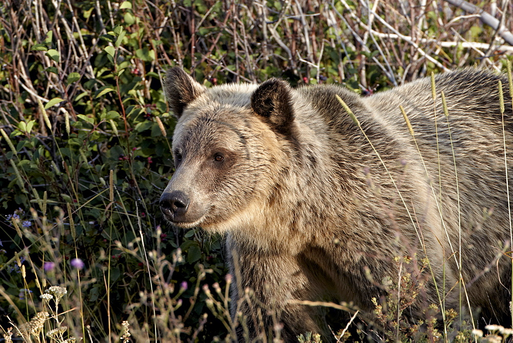 Grizzly bear (Ursus arctos horribilis), Glacier National Park, Montana, United States of America, North America