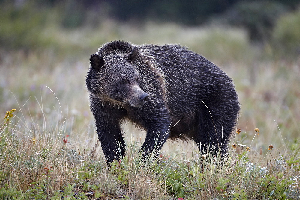 Grizzly bear (Ursus arctos horribilis) in the rain, Glacier National Park, Montana, United States of America, North America