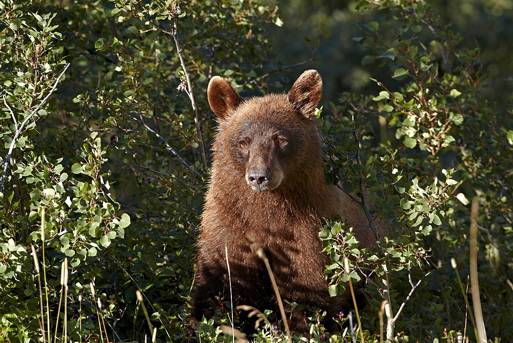 Cinnamon black bear (Ursus americanus), Glacier National Park, Montana, United States of America, North America