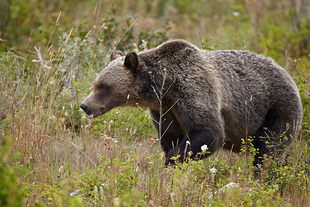 Grizzly bear (Ursus arctos horribilis) with its tongue out, Glacier National Park, Montana, United States of America, North America