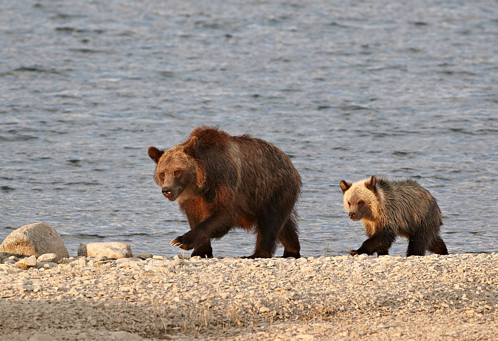 Grizzly bear (Ursus arctos horribilis) sow and yearling cub, Glacier National Park, Montana, United States of America, North America