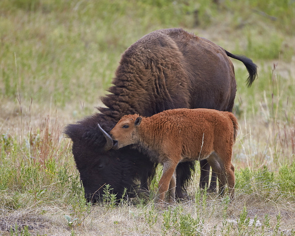 Bison (Bison bison) calf playing with its mother, Custer State Park, South Dakota, United States of America, North America