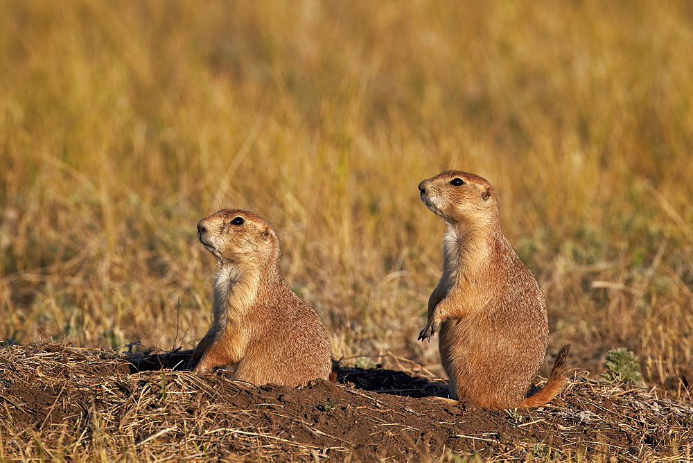 Two black-tailed prairie dog (blacktail prairie dog) (Cynomys ludovicianus), Custer State Park, South Dakota, United States of America, North America