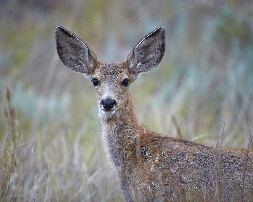 Young mule deer (Odocoileus hemionus), Custer State Park, South Dakota, United States of America, North America