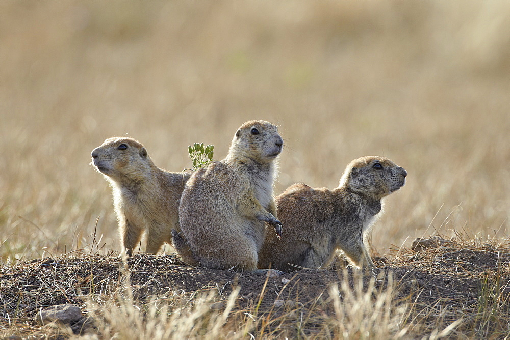Three black-tailed prairie dog (blacktail prairie dog) (Cynomys ludovicianus), Custer State Park, South Dakota, United States of America, North America