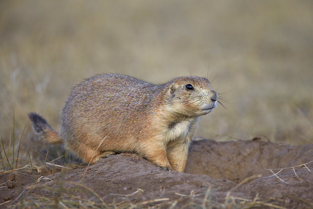 Black-tailed prairie dog (blacktail prairie dog) (Cynomys ludovicianus), Custer State Park, South Dakota, United States of America, North America