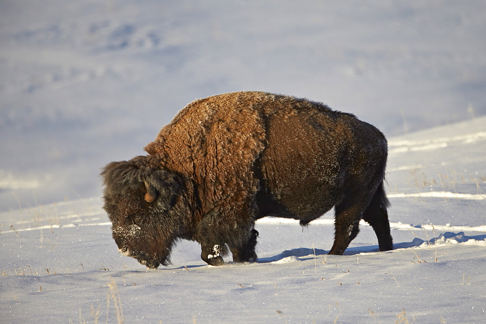 Bison (Bison bison) bull in the snow, Yellowstone National Park, Wyoming, United States of America, North America