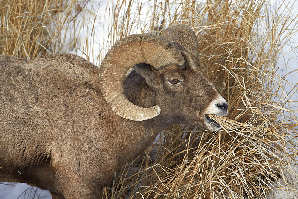 Bighorn sheep (Ovis canadensis) ram eating in the winter, Yellowstone National Park, Wyoming, United States of America, North America