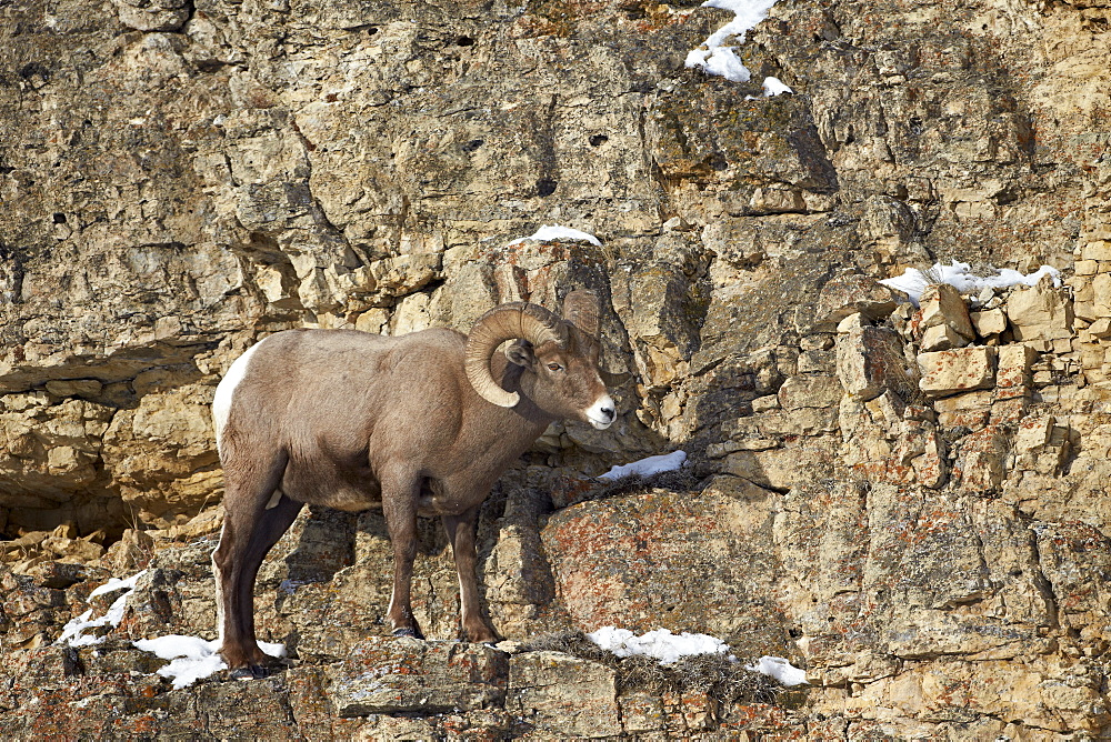 Bighorn sheep (Ovis canadensis) in the winter, Yellowstone National Park, Wyoming, United States of America, North America