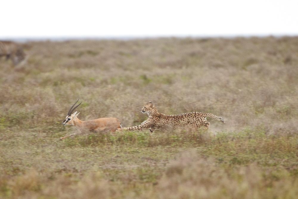 Cheetah (Acinonyx jubatus) chasing a Thomson's gazelle (Gazella thomsonii), Serengeti National Park, Tanzania, East Africa, Africa
