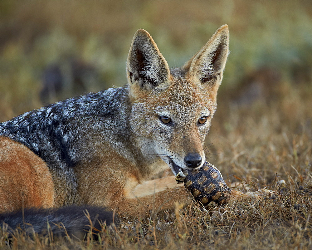 Black-backed jackal (silver-backed jackal) (Canis mesomelas) eating a small Leopard tortoise (Geochelone pardalis), Addo Elephant National Park, South Africa, Africa