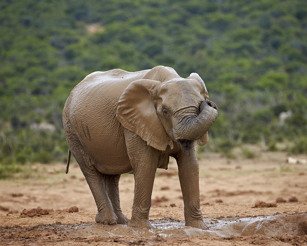 Female African elephant (Loxodonta africana) rubbing her eye while mud bathing, Addo Elephant National Park, South Africa, Africa