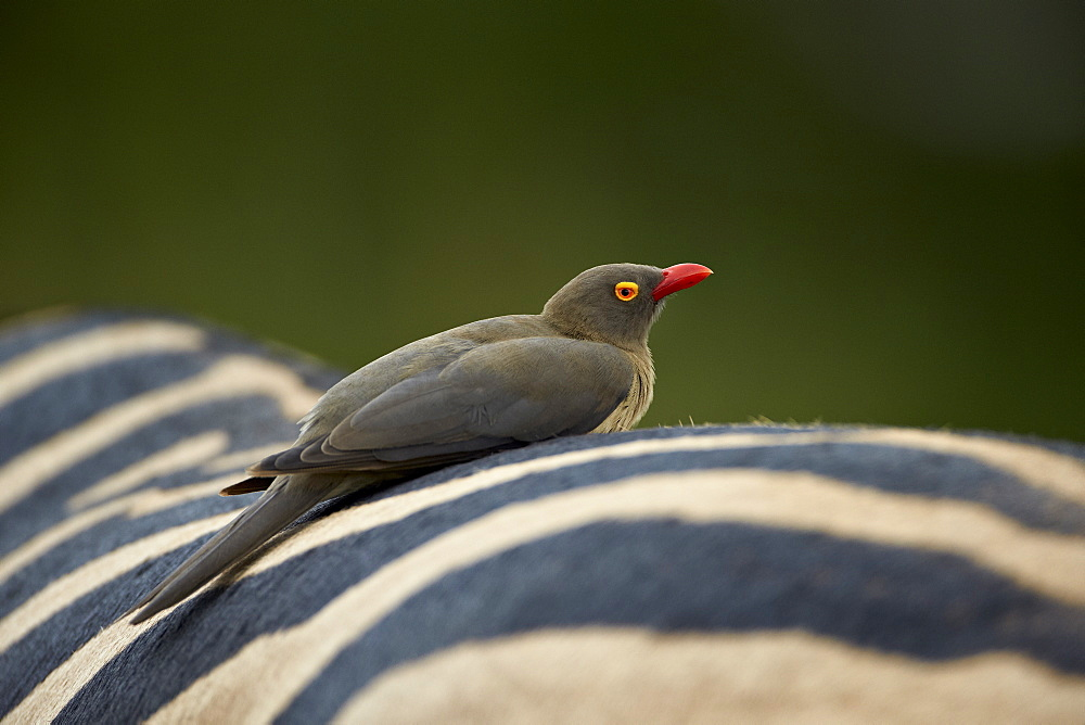 Red-billed oxpecker (Buphagus erythrorhynchus) on a zebra, Imfolozi Game Reserve, South Africa, Africa