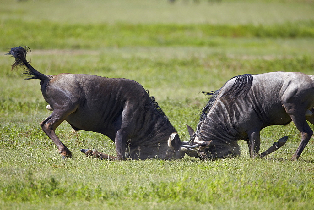 Two blue wildebeest (brindled gnu) (Connochaetes taurinus) bulls fighting, Ngorongoro Crater, Tanzania, East Africa, Africa
