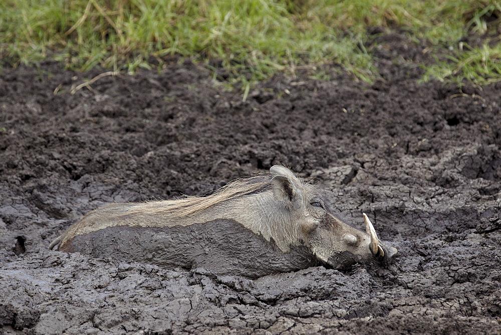 Warthog (Phacochoerus aethiopicus) mud bathing, Ngorongoro Crater, Tanzania,East Africa, Africa
