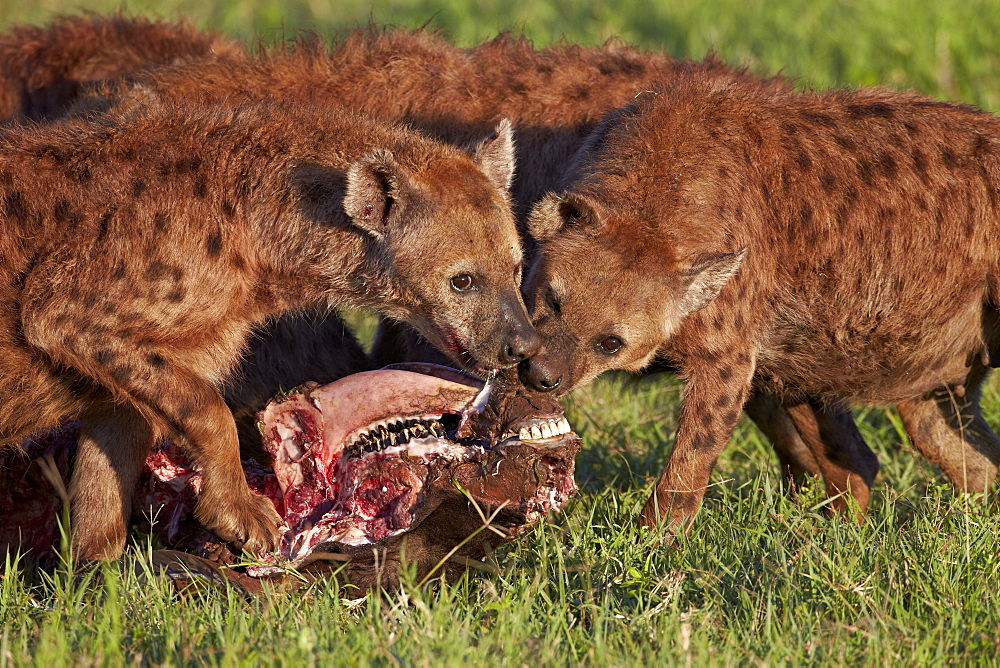 Spotted Hyena or Spotted Hyaena (Crocuta crocuta) at a Cape Buffalo kill, Ngorongoro Crater, Tanzania