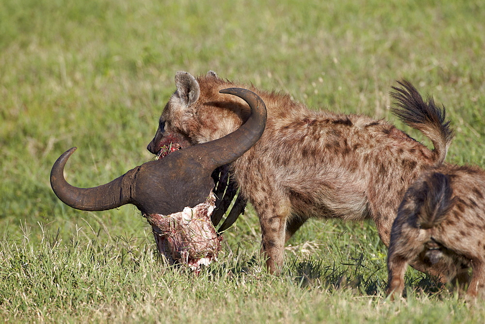 Spotted Hyena or Spotted Hyaena (Crocuta crocuta) with a Cape Buffalo skull, Ngorongoro Crater, Tanzania