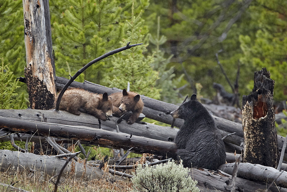 Black bear (Ursus americanus) sow and two yearling cubs, Yellowstone National Park, UNESCO World Heritage Site, Wyoming, United States of America, North America