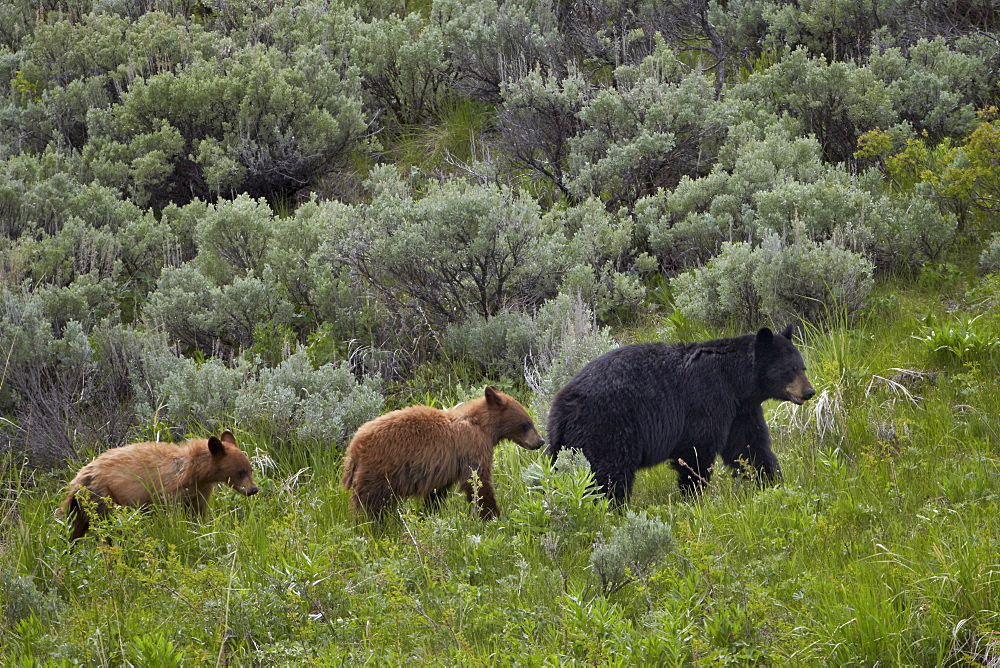 Black bear (Ursus americanus) sow and two cinnamon yearling cubs, Yellowstone National Park, UNESCO World Heritage Site, Wyoming, United States of America, North America