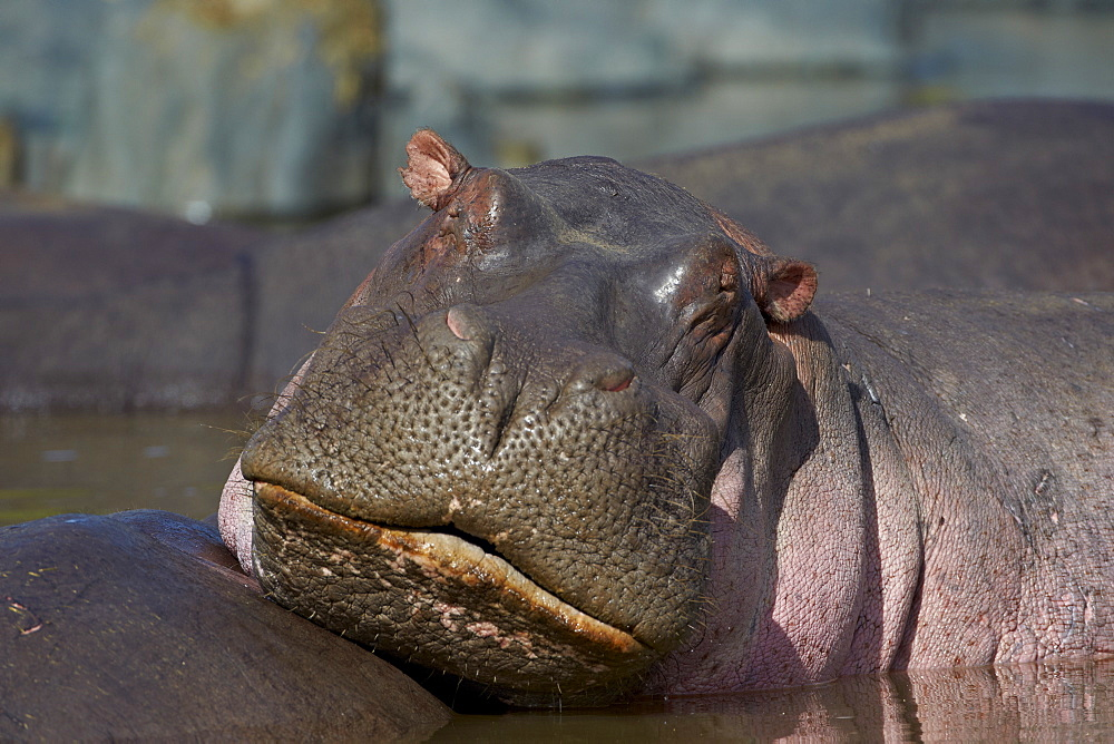 Hippopotamus (Hippopotamus amphibius), Serengeti National Park, Tanzania, East Africa, Africa
