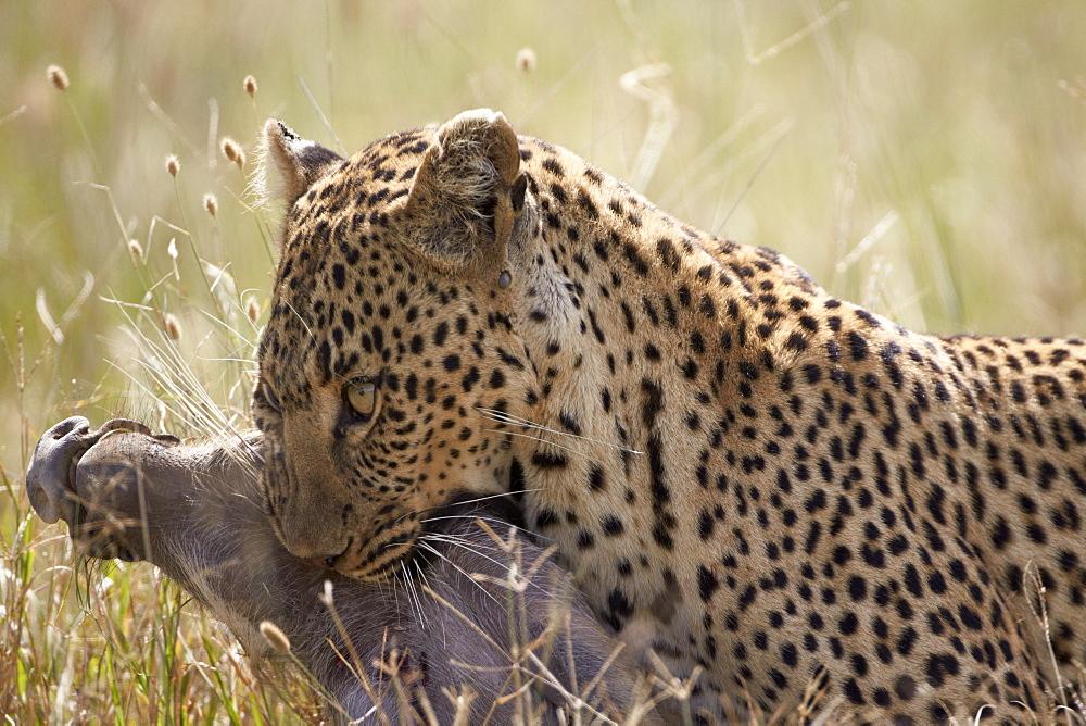 Leopard (Panthera pardus) carrying a warthog, Serengeti National Park, Tanzania, East Africa, Africa