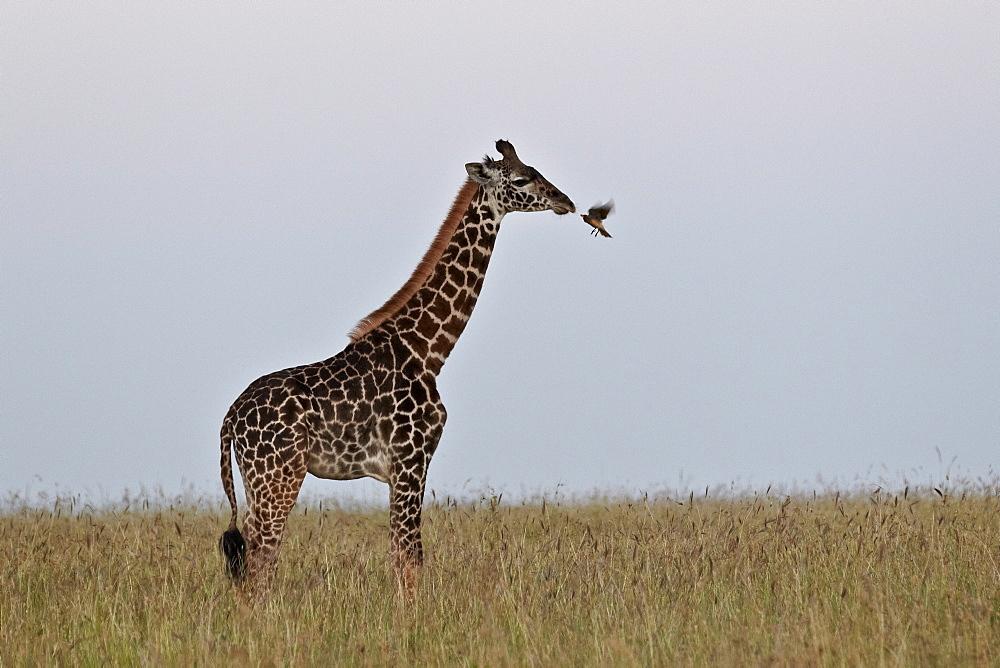 Masai giraffe (Giraffa camelopardalis tippelskirchi) and yellow-billed oxpecker (Buphagus africanus), Serengeti National Park, Tanzania, East Africa, Africa