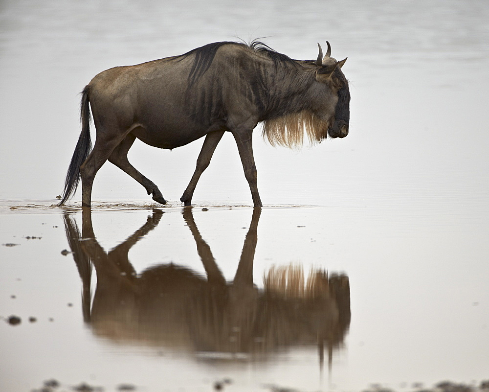 Blue wildebeest (brindled gnu) (Connochaetes taurinus) in the water, Serengeti National Park, Tanzania, East Africa, Africa