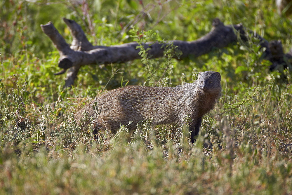 Marsh mongoose (water mongoose) (Atilax paludinosus), Serengeti National Park, Tanzania, East Africa, Africa