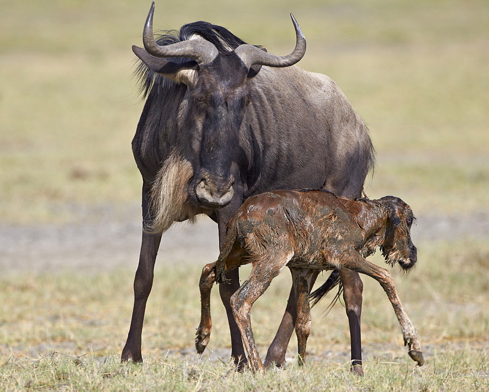 Just-born blue wildebeest (brindled gnu) (Connochaetes taurinus) standing for the first time, Serengeti National Park, Tanzania, East Africa, Africa