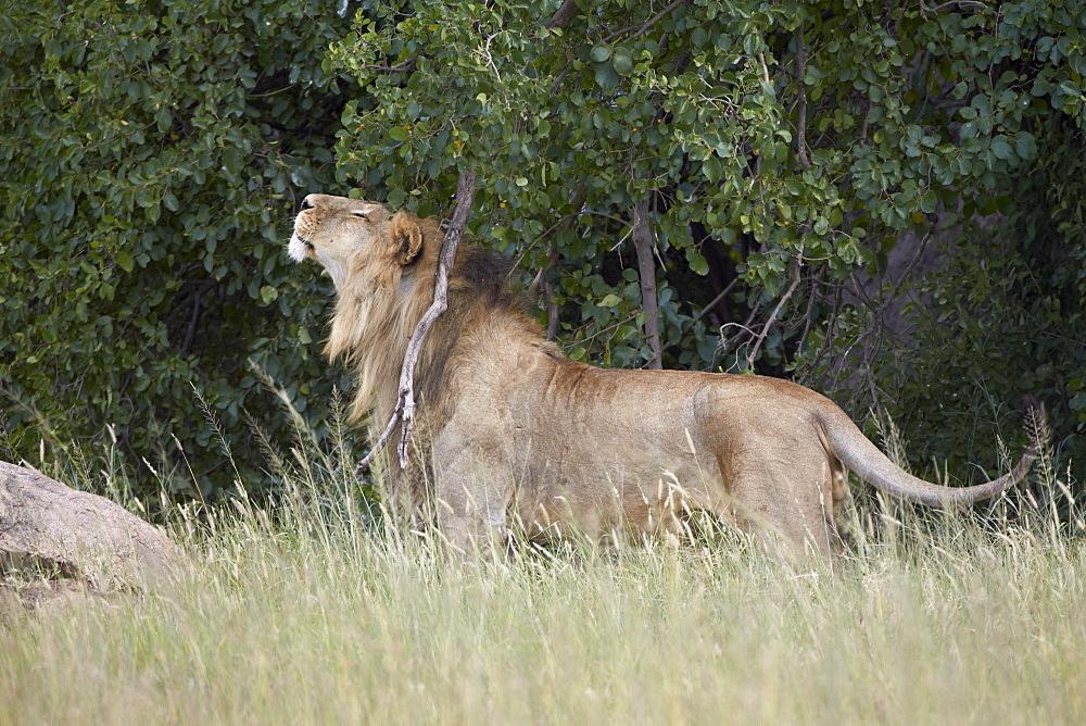 Lion (Panthera leo) scratching and marking territory, Serengeti National Park, Tanzania, East Africa, Africa