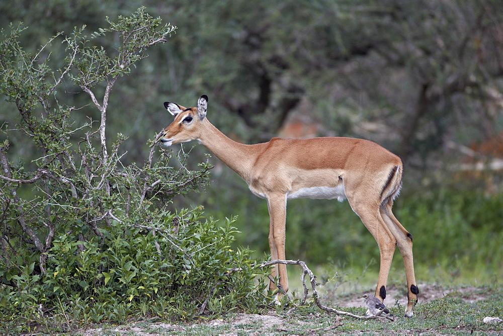 Impala (Aepyceros melampus) doe eating, Serengeti National Park, Tanzania, East Africa, Africa