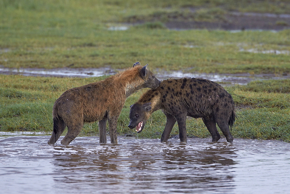 Two spotted hyena (spotted hyaena) (Crocuta crocuta), Serengeti National Park, Tanzania, East Africa, Africa