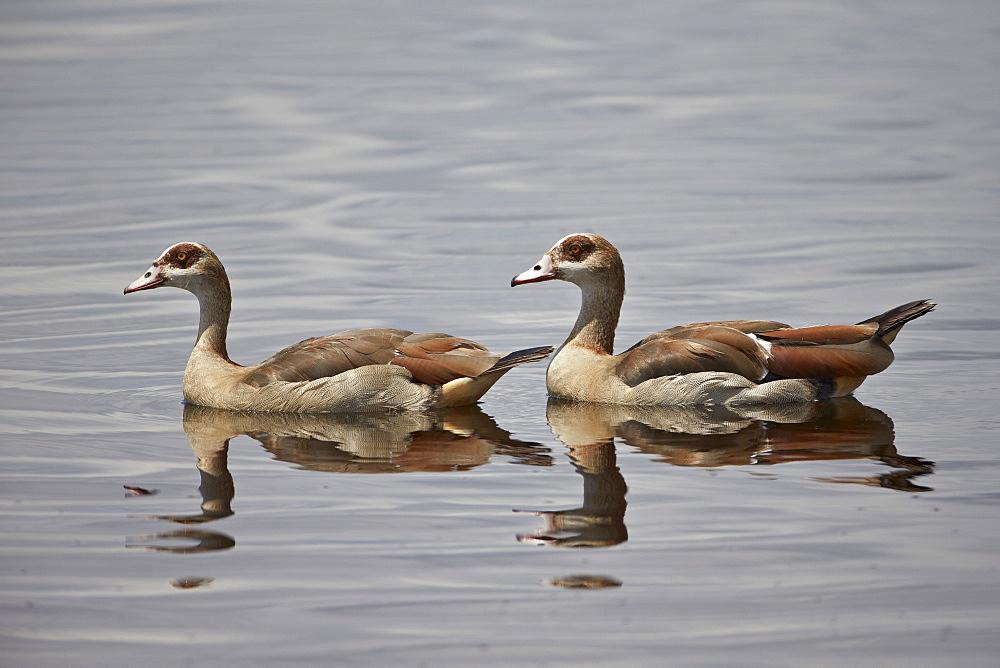 Egyptian goose (Alopochen aegyptiacus) pair, Serengeti National Park, Tanzania, East Africa, Africa
