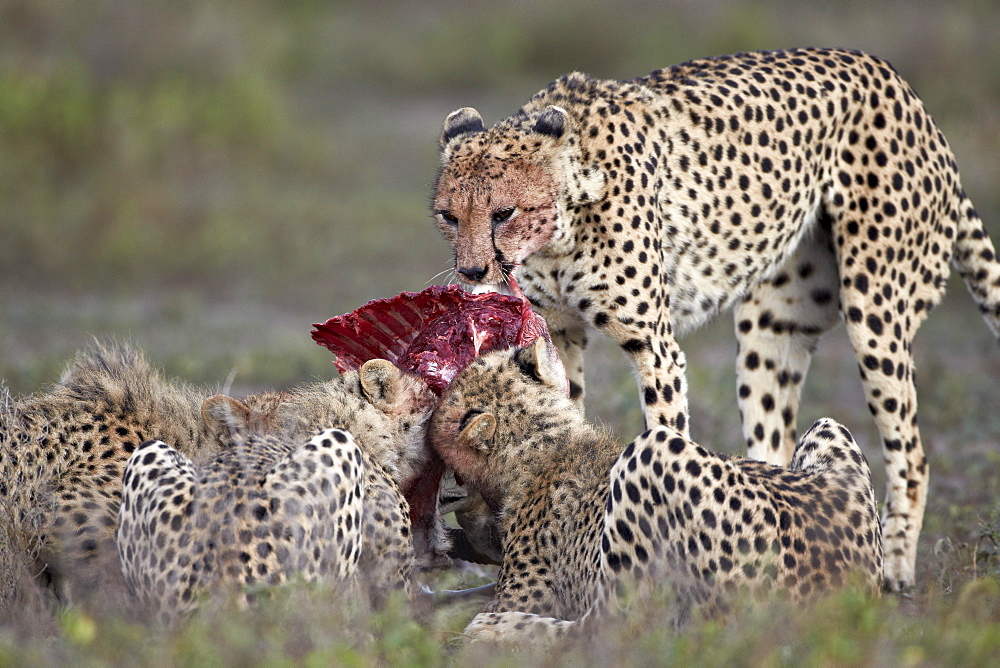 Cheetah (Acinonyx jubatus) family at a kill, Serengeti National Park, Tanzania, East Africa, Africa