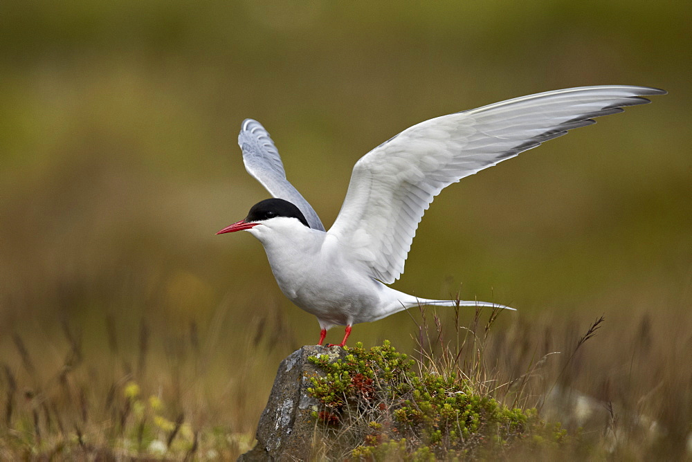 Arctic tern (Sterna paradisaea) spreading its wings, Iceland, Polar Regions
