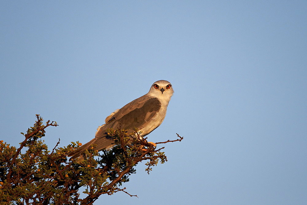 Black-shouldered kite (Elanus caeruleus), Mountain Zebra National Park, South Africa, Africa