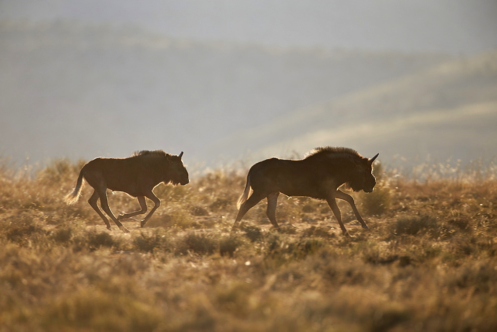 Two young black wildebeest (white-tailed gnu) (Connochaetes gnou) running, Mountain Zebra National Park, South Africa, Africa
