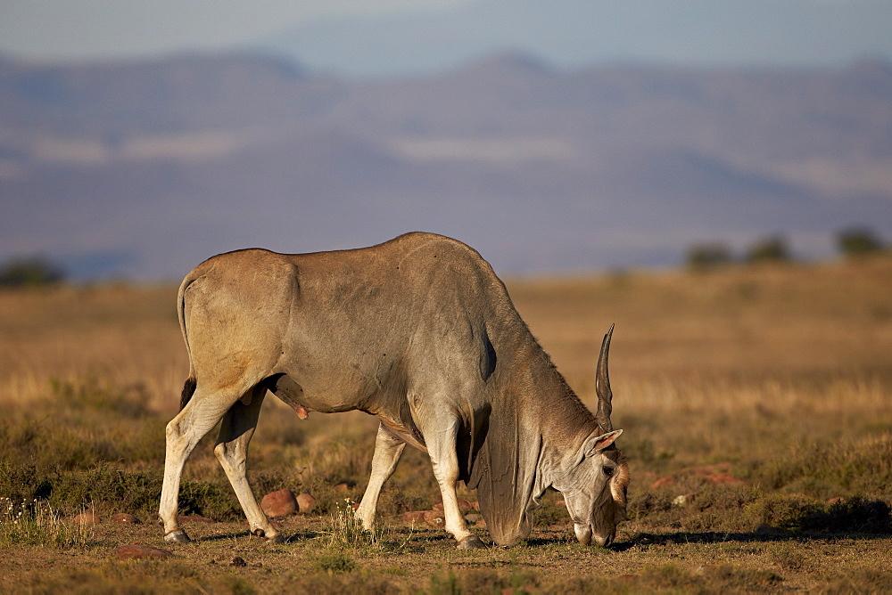 Common eland (Taurotragus oryx) buck feeding, Mountain Zebra National Park, South Africa, Africa
