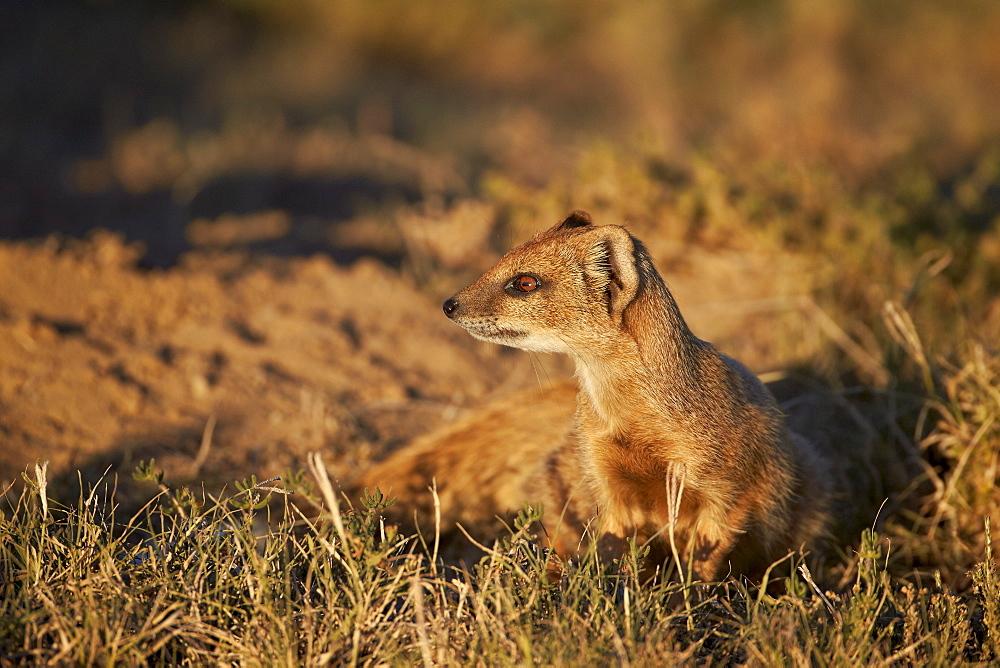 Yellow mongoose (Cynictis penicillata), Mountain Zebra National Park, South Africa, Africa